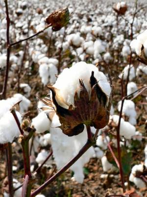 Egypt cotton