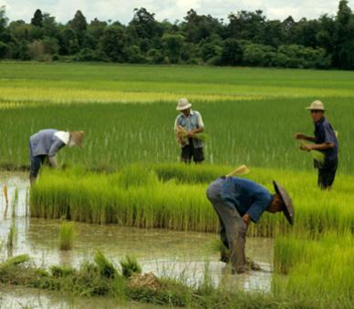 Thailand is the world's biggest rice producer