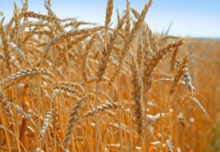 A wheat and barley field in Russia