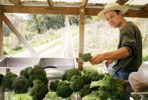 Farmer preparing broccoli for sale at local community Farmer's Market in the U.S.